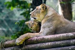 Lioness and cub from Paignton Zoo. stock photos