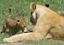 Lioness and cub - Panthera leo Royalty Free Stock Images