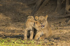 Lioness with cub. Lioness (Panthera leo) with cub rubbing against her face Stock Photography