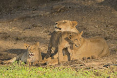 Lioness with cub. Lioness (Panthera leo) with cub rubbing her chin Royalty Free Stock Image