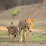 Lioness with cub. Lioness (Panthera leo) with cub walking towards camera Royalty Free Stock Photography