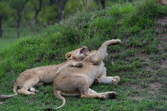 A lioness and a cub Royalty Free Stock Photography