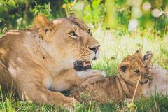 Lioness and cub relaxing in the grass. royalty free stock photo
