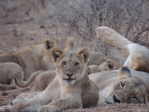 Lioness and cub. Resting at South Africa savannah Royalty Free Stock Images