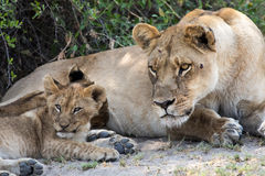 Lioness and cub see something of interest. Stock Image