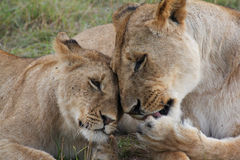 Lioness with a cub Royalty Free Stock Photography