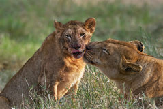 Lioness and cub Royalty Free Stock Image