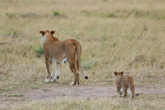 African Lioness and Cub Stock Images