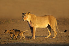 Lioness with cubs Royalty Free Stock Image