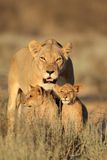 Lioness with cubs. Lioness with young lion cubs (Panthera leo) in early morning light, Kalahari desert, South Africa Royalty Free Stock Photography
