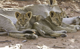 Lioness with cubs Royalty Free Stock Photography
