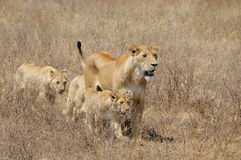 Lioness and cubs. Lioness and her cubs in a parched grassland in Tanzania at the end of the dry season Royalty Free Stock Photography