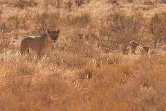 Lioness with Cubs in Kalahari Desert Stock Photos