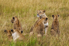 Lioness with cubs. Kenya National Park. Stock Photography