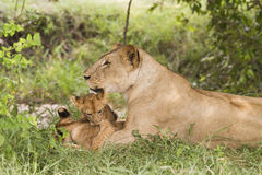 Lioness with cubs (Panthera leo). Between front legs Stock Photography