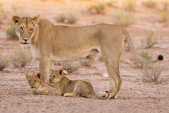Lioness and cubs play in the Kalahari on sand Royalty Free Stock Images