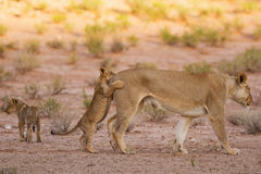 Lioness and cubs play in the Kalahari on sand Royalty Free Stock Photos