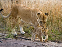Lioness with cubs in the savannah. National Park. Kenya. Tanzania. Masai Mara. Serengeti.  Royalty Free Stock Photography
