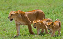 Lioness with cubs in the savannah. National Park. Kenya. Tanzania. Masai Mara. Serengeti. Stock Images