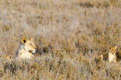 Lioness & Cubs, Serengeti National Park Stock Photography