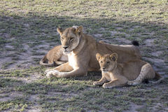 Lioness with cubs, Serengeti, Tanzania. Collared lioness with cubs in Serengeti Natioanal Park, Tanzania, Africa royalty free stock images