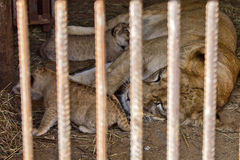 Lioness with  cubs Royalty Free Stock Images