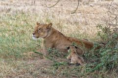 Lioness and cubs Stock Image