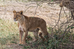 Lioness and cubs Stock Photography
