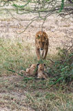 Lioness and cubs Royalty Free Stock Image