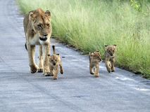 Lioness and cubs. Walking on road Stock Photography