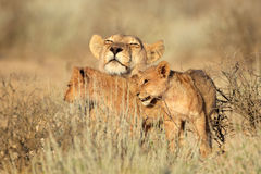 Lioness with cubs Stock Photography