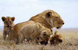 Lioness and cupps. Lioness lying on the grass while 2 cups are playing with here tail and one is looking at his/her brothers/sisters Stock Photos
