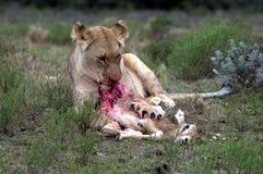 Lioness d'alimentazione Fotografie Stock Libere da Diritti