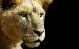 Lioness in dark Stock Photos