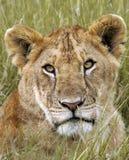 Lioness del Masai Immagini Stock