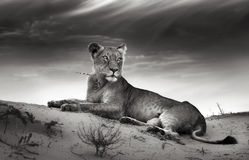 Lioness on desert dune royalty free stock photo