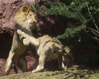Lioness deters Lion Royalty Free Stock Image