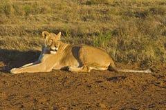 Lioness di altezze di Addo Immagine Stock