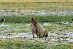 Lioness di caccia Fotografia Stock