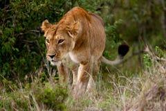 Lioness di caccia (Panthera leo) Immagine Stock Libera da Diritti