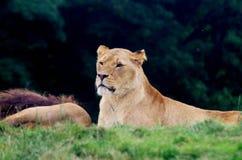 Lioness di riposo Fotografie Stock Libere da Diritti