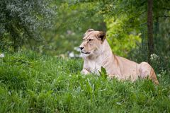 Lioness di seduta Fotografie Stock