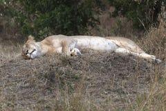 Lioness di sonno Fotografia Stock Libera da Diritti