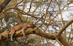 Lioness di sonno su un albero Fotografia Stock Libera da Diritti
