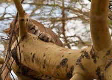 Lioness di sonno su un albero Fotografie Stock Libere da Diritti