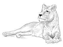 Lioness di vettore Immagini Stock Libere da Diritti