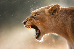 Lioness displaying dangerous teeth. Lioness displays dangerous teeth during light rainstorm  - Kruger National Park - South Africa Stock Photography