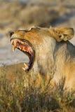 Lioness displays dangerous teeth. Panthera leo royalty free stock photo