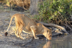 Lioness drinking Royalty Free Stock Photo