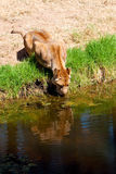 Lioness Drinking Royalty Free Stock Image